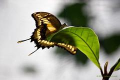 "Light Through Yellow Butterfly Wings (Aruba) (runintherain) Tags: runintherain canon450dxsi canon canonxsi caribbean lesserantilles flora nature outdoor animals butterflies bokeh details aruba ""netherlands"" abcislands dutchcaribbean arubabutterflyfarm oranjestad"