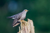 Cuckoo-7 (Andrew Haynes Wildlife Images) Tags: nature wildlife wwt brandonmarsh
