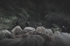 (Tc photography. Per) Tags: life music plants black bird look animal photoshop canon dark dead rocks darkness action fear group ave desaturated effect coragypsatratus glances intimidate caotic youngphotographer gallinazo gallote tcphotography fowld