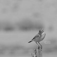 #blackandwhite #bw #hdr #nature #petsandanimals #photography #bird #birds # # # # # #PicsArt #  # # # #camera #sonyalpha6000 #sony #a57 #ksa #saudi_arabia #saudiarabia # # #saudi (photography AbdullahAlSaeed) Tags: camera blackandwhite bw bird nature birds photography sony saudi saudiarabia hdr ksa a57 petsandanimals          picsart sonyalpha6000