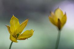 Tulipe Sauvage (Tulipa sylvestris) (sergegoujon) Tags: france rhnealpes treschenucreyers
