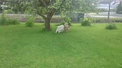 MOV_0184_000 (mona.mono) Tags: puppy hedda raja 7mnd 20kg kjrestepar samojed 54cm juni15 finsklapphund motorhedda