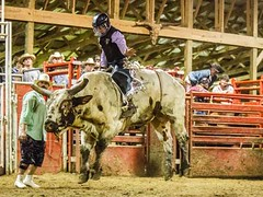 dsc_0392 t sm (Photos by Kathy) Tags: bull rodeo bullriding bullfighters foxhollowrodeo
