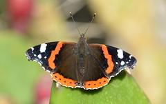 Mariposa (Vanesa atalanta), Zaragoza. (eustoquio.molina) Tags: vanesa atalanta zaragoza papillon butterfly