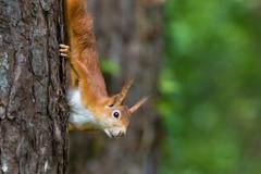 Eurasian red squirrel (GaseousClay1) Tags: eurasianredsquirrel sciurusvulgaris nature wildlife wood woodland nuts trees redsquirrel red squirrel wild cute martinclay