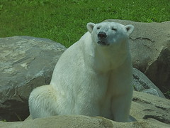 Anoki (ak82984) Tags: bear baltimore polarbear marylandzoo anoki marylandzooinbaltimore