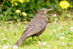 Female Blackbird (Linda Martin Photography) Tags: uk nature birds female wildlife dorset backgarden blackbird canon5dmarklll