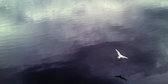 Flight (markd12) Tags: ireland irish bird nature water river wings flight derry foyle