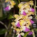 Aerides houlletiana – Lisa Humphreys