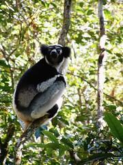 Indra lemur