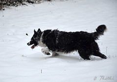 150124 ccnN 150803 © Théthi ( 5 pics ) (thethi: better, back slowly) Tags: chien neige border collie chesa jeu course namur wallonie belgique bordercollie setnamurcity bestof2015 ruby20 ruby22 faves32