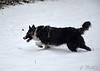 150124 ccnN 150803 © Théthi ( 5 pics ) (thethi: pls read the 1st comment :-)) Tags: chien neige border collie chesa jeu course namur wallonie belgique bordercollie setnamurcity bestof2015 faves31 ruby20