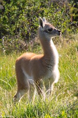 Baby Guanaco - Parque Patagonia (Captures.ch) Tags: 2016 animal baby black brown bush capture chile gras gray green guanaco nature november orange parquepatagonia red southamerica travel vallechacabuco white yellow young