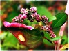 (Ruth Nicholas) Tags: flora nature plant wildflower curlyleaf richcolors pink green depthoffield macro