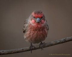 Whassup? (Kevin James54) Tags: housefinch nikond500 peacevalleypark tamron150600mm animals avian bird carpodacusmexicanus finch kevingianniniphotocom