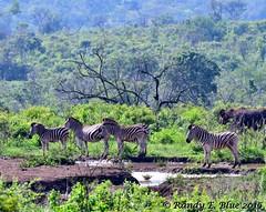 Hluhluwe-Imfolozi 015 (REBlue) Tags: southafrica kwazulunatalprovince hluhluweimfolozipark burchellszebra
