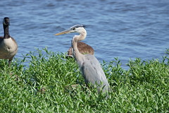 Great Blue Heron (Eric E Haas) Tags: havredegrace maryland unitedstates usa ardeaherodias birds greatblueheron greatblueherons herons sony70300mmgii
