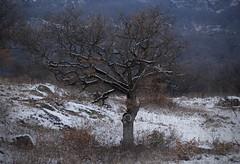 chêne (bulbocode909) Tags: valais suisse branson fully arbres chênes nature montagnes hiver neige brume