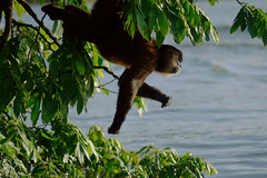 Monkey Island (eternalflameserenity(Freebirddbb)) Tags: monkey granada island monkeyisland nicaragua travelphotographer travel photographer bertaalvarado robertaalvarado freebirddbb nature color water drink californiaphotographer centralamerica centro berta alvarado eternalflameserenity