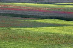 _UM14775nsR (Foto Massimo Lazzari) Tags: fioritura lenticchie papaveri fiordaliso fiori
