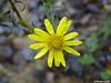 * like a star * (MacroManni) Tags: deutschland germany nrw rheinerftkreis sophienhöhe wildblume wildflower gelb yellow makro macro wassertropfen waterdrops