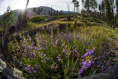 Flowers in the Sierra (speedcenter2001) Tags: anseladamswilderness sierranevada sierra sierraphile highsierra california mountains wilderness hiking outdoor backpacking backcountry nikon16mmf35ai fisheye