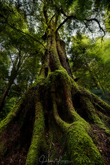 Sassafras (hillsee) Tags: tree sassafras temperate cool rainforest forest tarkine tasmania green nature nikon d810 australia roots textures
