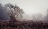 Horsford Woods 06/12/2016 (Matthew Dartford) Tags: matthewdartford a7rii bokeh bracken branch dead fog foggy horsford landsape lone mist misty norfolk old sony tall tree