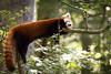 Sleeping on a branch (Cloudtail the Snow Leopard) Tags: roter panda wildpark parc animalier sainte croix tier animal mammal säugetier kleiner red feuerfuchs firefox katzenbär bärenkatze goldhund ailurus fulgens sleep schlafen