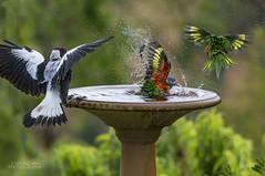 Seeking water (ChrisKirbyCapturePhotography) Tags: birds australianbirds birdbath summer summerinaustralia hotweather colour feathers rainbowlorikeets australian magpie inmygarden hot