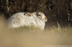 Mountain Hare (Alastair Marsh Photography) Tags: hare mountainhare hares mountainhares peakdistrict derbyshire peat heather peakdistrictnationalpark nationalpark mammal mammals britishwildlife britishanimals britishanimal britishmammals britishmammal fur animal animals wildlife