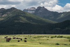 Mountian View - Lamar Valley - Yellowstone National Park - Wyoming - 24 June 2016 (goatlockerguns) Tags: yellowstone national park wyoming usa unitedstatesofamerica nature natural nationalpark west western forest mountains teton lamar valley
