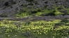 Wildflowers I (Joe Josephs: 2,861,655 views - thank you) Tags: california californialandscape joejosephs landscapes pacificcoasthighway travel travelphotography animals californiacentralcoast californiacoast fineartphotography landscape landscapephotography outdoorphotography coastline westcoast flowers flowerphotography wildflowers flora hiking