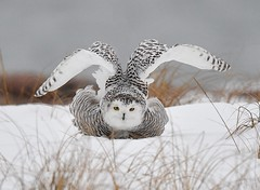Snowy Owl Stretching its Wings (KoolPix) Tags: koolpix jaykoolpix naturephotography jay nature naturephotos naturephotographer animalphotographer wcswebsite nationalgeographic fantasticnature amazingnature wonderfulbirdphotos animal amazingwildlifephotos fantasticnaturephotos mothernature jonesbeachny beach snowyowl owl raptor birdofprey bird wings beak feathers white rarebirdsightinginny