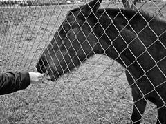 Mano amiga (Luicabe) Tags: airelibre alambre alimento animal blancoynegro caballo cabello cerca enazamorado equino exterior fruta luicabe luis mano monocromaìtico naturaleza valla vertebrado yarat1 zamora ngc monocromático