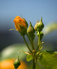 Ready To Bloom (swong95765) Tags: bokeh bud rose bloom beauty plant buds beginning life splendor