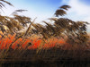 Sunset over the sea. (Bessula) Tags: bessula nature sea reeds sunset horizon sky autumn vacation warm island light coth5 ngc