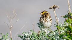 Savannah Sparrow (Bob Gunderson) Tags: alamedacounty arrowheadmarsh birds california eastbay northerncalifornia passerculussandwichensis savannahsparrow sparrows