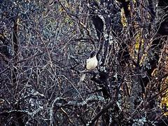 sutileza en la maraña de un olivo (ana•○•○) Tags: maraña aire libre ave pajaro exterior olivo arbol planta frio sutil