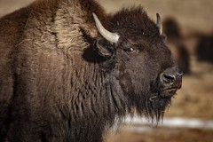 I made a friend. (Notkalvin) Tags: buffalo bison americanbison wildlife aniimal huge angry annoyed notkalvin mikekline notkalvinphotography outdoor southdakota stare glare critter