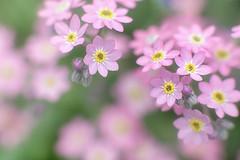 ##02 (Michael A64) Tags: flower flowers blume blumen natur nature colors color farbe farben soft botany botanik