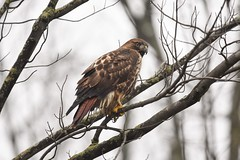 dark looking hawk on a dark day (Rob E Twoo) Tags: red tailed birding raptor wildlife nature explore canada ontario