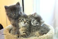 Cute times Three! (judecat ( celebrating spring)) Tags: cats kittens felines longhairedgreykitten browntabby longhaireddilutedtortiseshellkitten fuzzy cute ozzie dora vinny