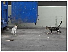 incontro di gatti (pratolina 17 ❀) Tags: gatto gatti felini animali fauna