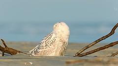 Snowy Owl (Greg Gard) Tags: snowy owl snowyowl snow beach nj newjersey resting yelloweyes raptor birdofprey 1dx 600mm buboscandiacus