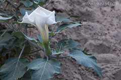 "Angels Trumpet • <a style=""font-size:0.8em;"" href=""http://www.flickr.com/photos/63501323@N07/17807037253/"" target=""_blank"">View on Flickr</a>"