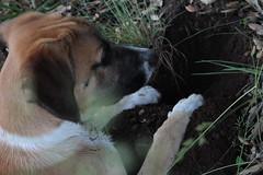 Babel cavando de perfil II (lapelan) Tags: de la agujero campo cerrado serra solitario tarde ftbol babel tierra perra hierba vaco solos bellotas cavar batet