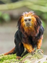 Golden-headed lion tamarin (John van Beers) Tags: netherlands zoo nl apenheul aap apeldoorn tamarin dierentuin gelderland leontopithecuschrysomelas goldenheadedliontamarin liontamarin goudkopleeuwaap