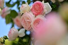 Rose 'Pierre de Ronsard' raised in France (naruo0720) Tags: plant flower rose outside bokeh 薔薇 バラ ばら ボケ pierrederonsard frontbokeh creamybokeh frenchrose ピエール・ドゥ・ロンサール フランスのバラ