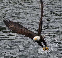 Alaska Eagle (Photobug70D) Tags: birds alaska reflections lakes bridges trains huskies glaciers whales eagles